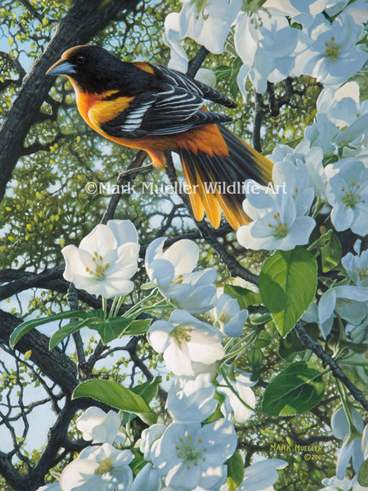 Baltimore Oriole painting by Mark Mueller