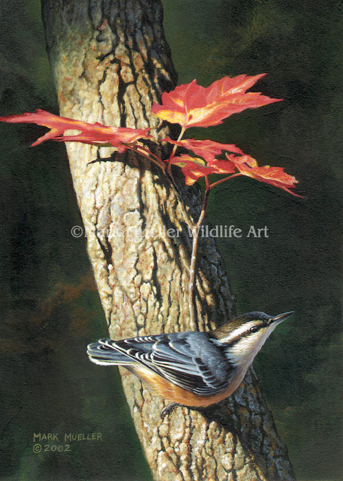 Red-breasted Nuthatch painting by Mark Mueller